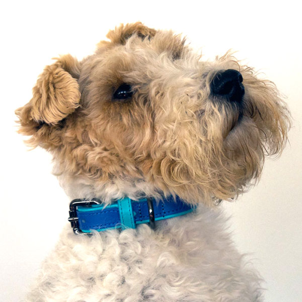 Alice wearing our Matisse dog collar in contrasting azure and cobalt leather